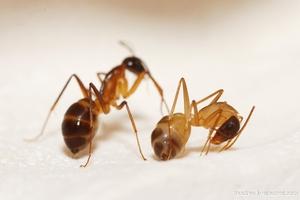Борьбя с рыжими муравьями