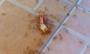 Как бороться с рыжими муравьями